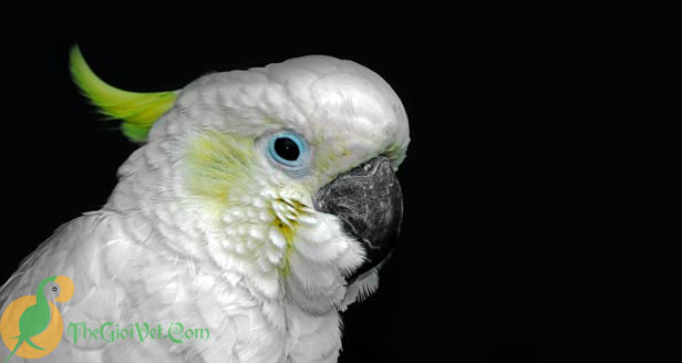 Blue Eyed Cockatoo