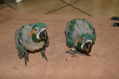 Blue Throated Macaw 1