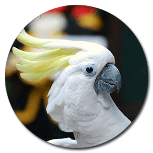 Captive-blue-eyed-cockatoo-portrait
