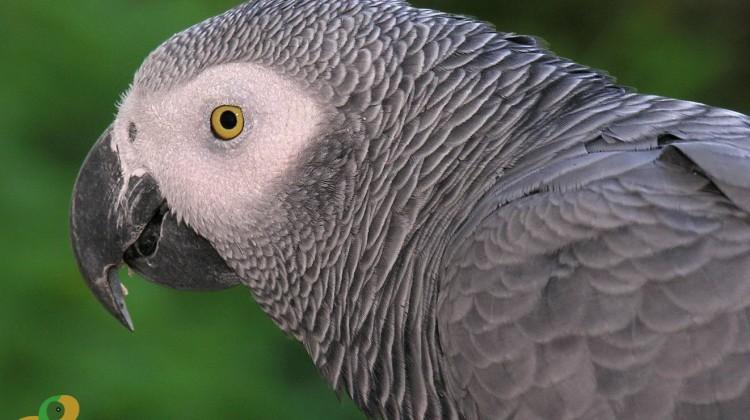 African Grey Parrot (Vẹt Xám Châu Phi)