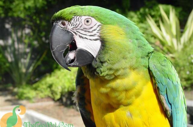 Miligold Macaw
