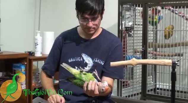 Những bước đầu tiên để huấn luyện một chú vẹt con