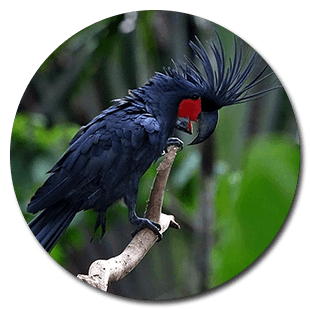 PALM COCKATOO