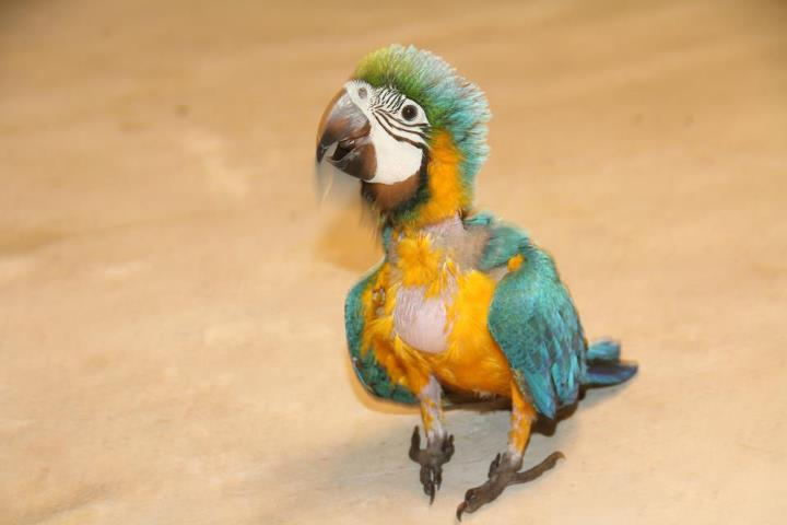 blue and gold macaw 3