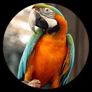 macaw-harlequin