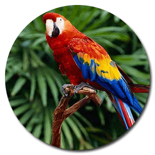 scarlet_macaw_parrot