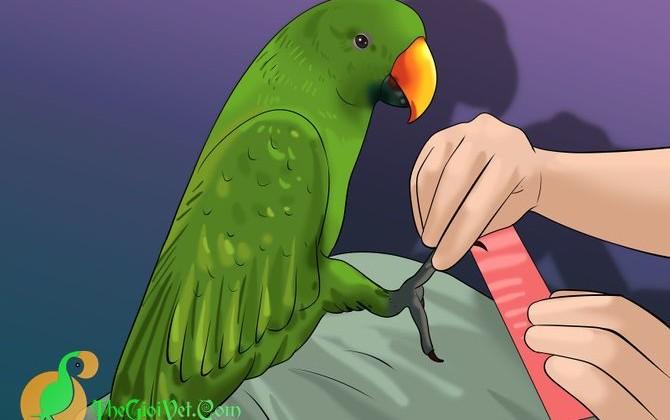 Hướng dẫn giũa móng chân cho vẹt