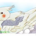 Giải pháp: Cách làm Cockatiel ngưng đẻ trứng