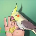 Nuôi dạy vẹt Cockatiel: Mổ hạt chứ đừng mổ tay
