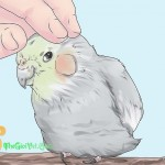 14 điều cần nhớ để Cockatiel luôn cảm thấy hạnh phúc