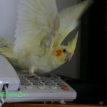 Bài tập: Làm thế nào để dụ Cockatiel nhảy lên cao