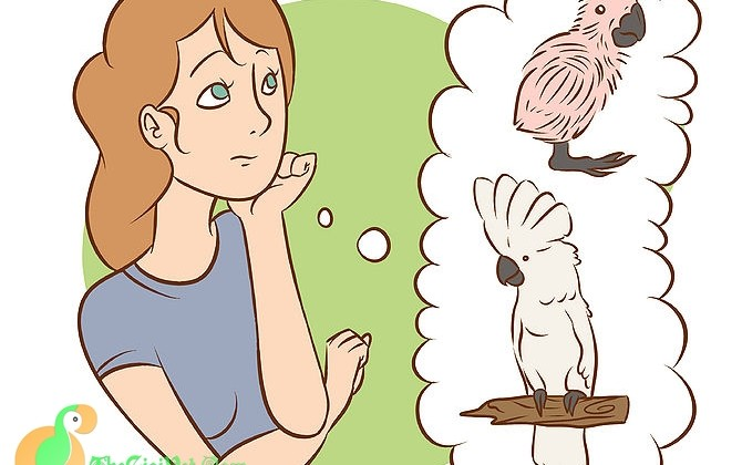 Cách chăm sóc vẹt  Moluccan Cockatoo và Umbrella Cockatoo