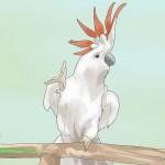 Moluccan Cockatoo – Có quá khó để hòa nhập?