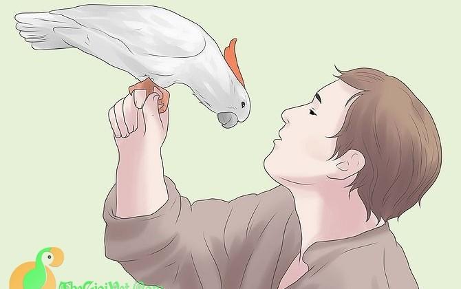 Cẩm nang chăm sóc vẹt Cockatoo và những lời khuyên
